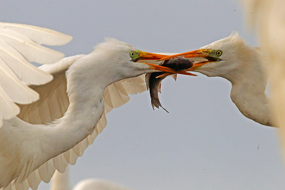 Great Egret ( Egretta alba ) fighting for a fish , Hungary