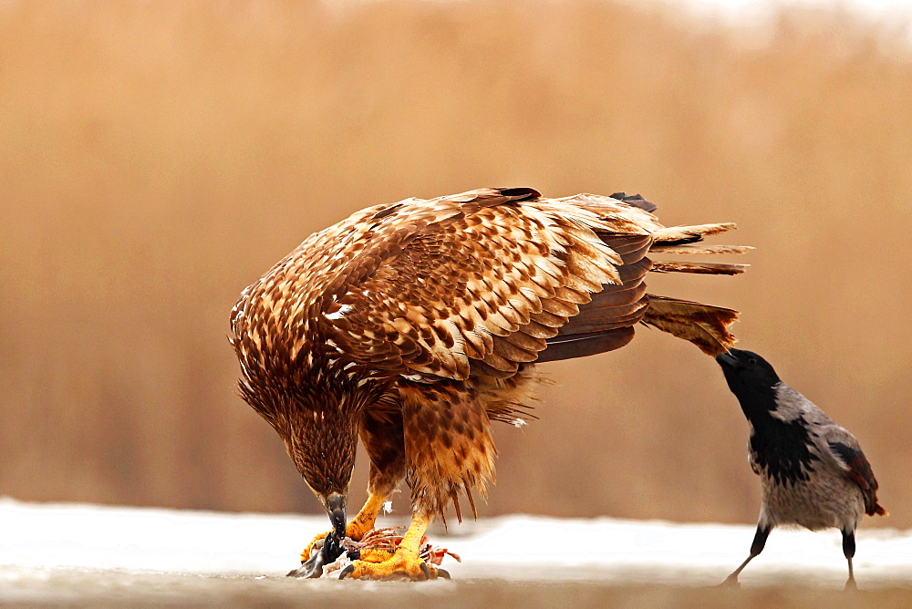 Hooded Crow (Corvus corone cornix) pulling the tail of a White-tailed Eagle (Haliaeetus albicilla) in an attempt to steal his prey, Hungary