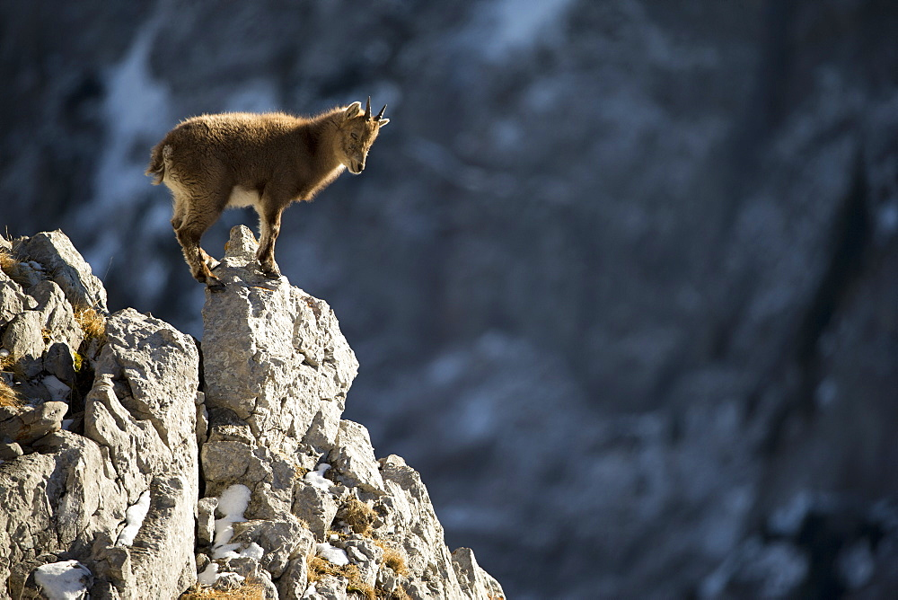 Young Alpine Ibex (Capra ibex) on rock, Alps , Switzerland.