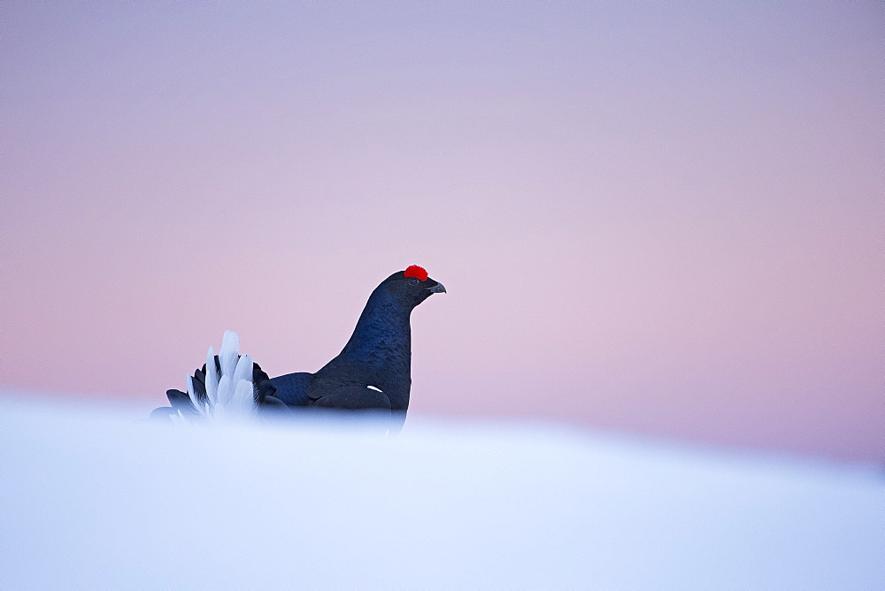 Black grouse ( Lyrurus tetrix ) male displaying on snow, Prealps, Switzerland .
