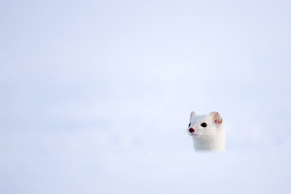 Portrait of Ermine ( Mustela erminea ) in white coat of winter on snow, Prealps.