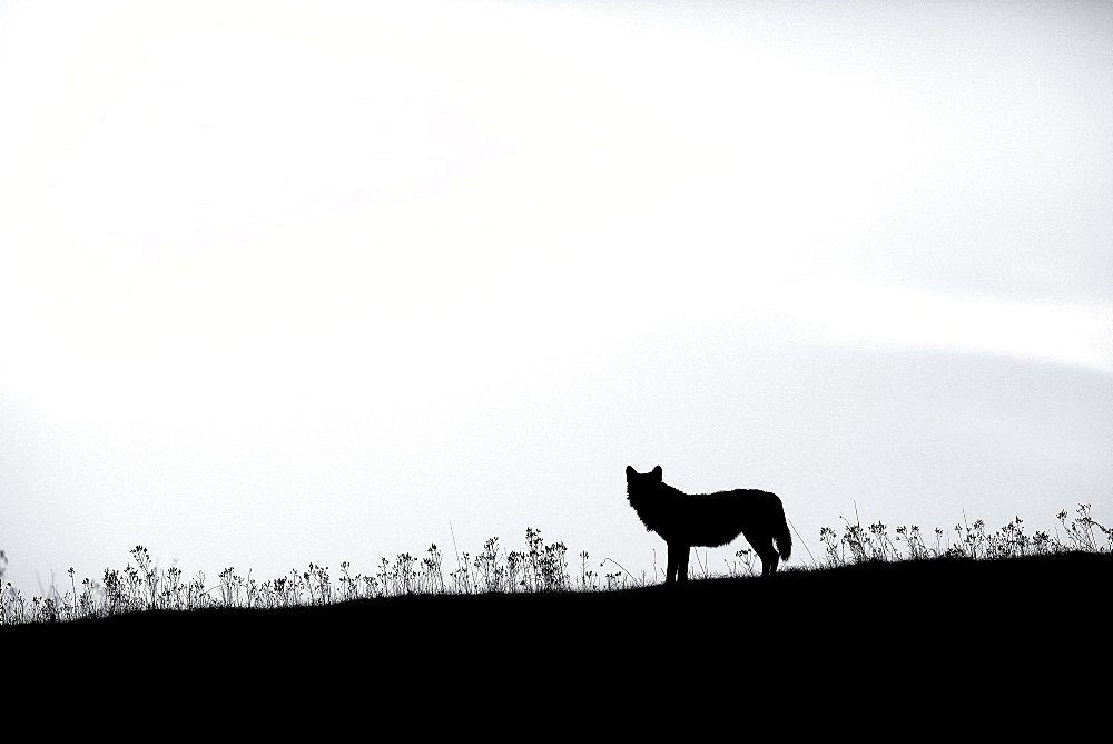 Silhouette of Italian Wolf (Canis lupus italicus) at dusk, Abruzzo, Italy