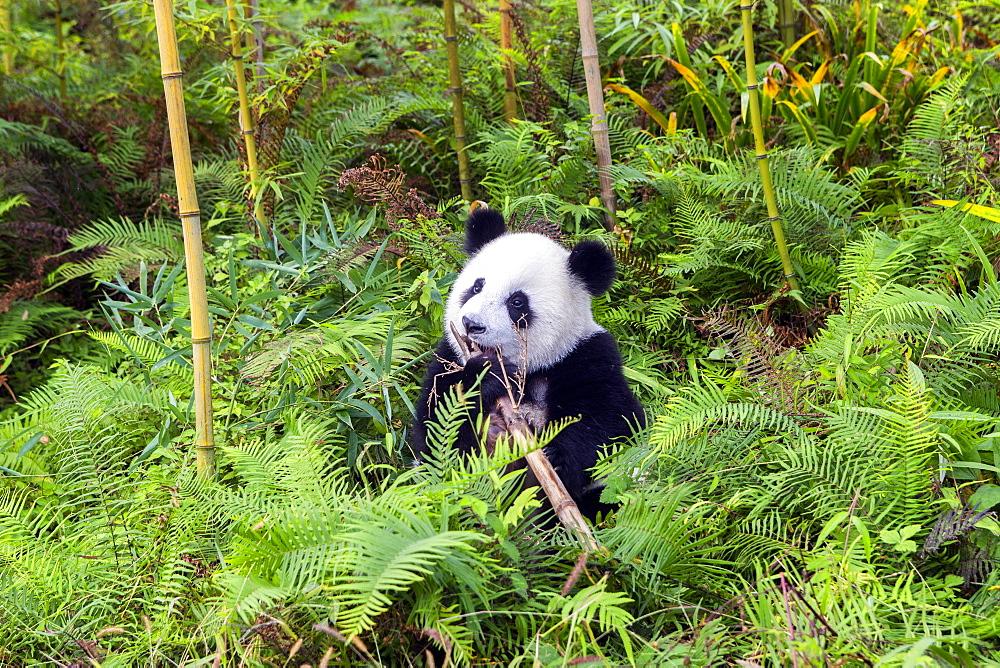Giant Panda (Ailuropoda melanoleuca),captive, Chengdu Panda Base, Sichuan, China