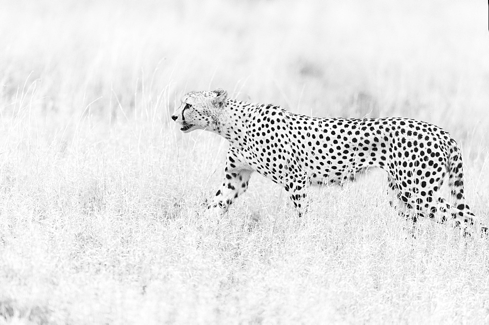 Cheetah (Acinonyx jubatus) walking in savanna, Kruger national ParK, South Africa