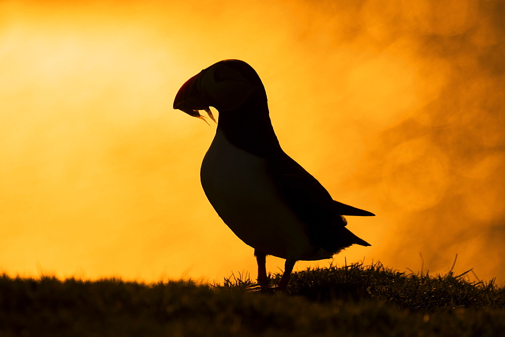 Puffin (Fratercula arctica) Bird silhouette at sunset, Shetland, Spring