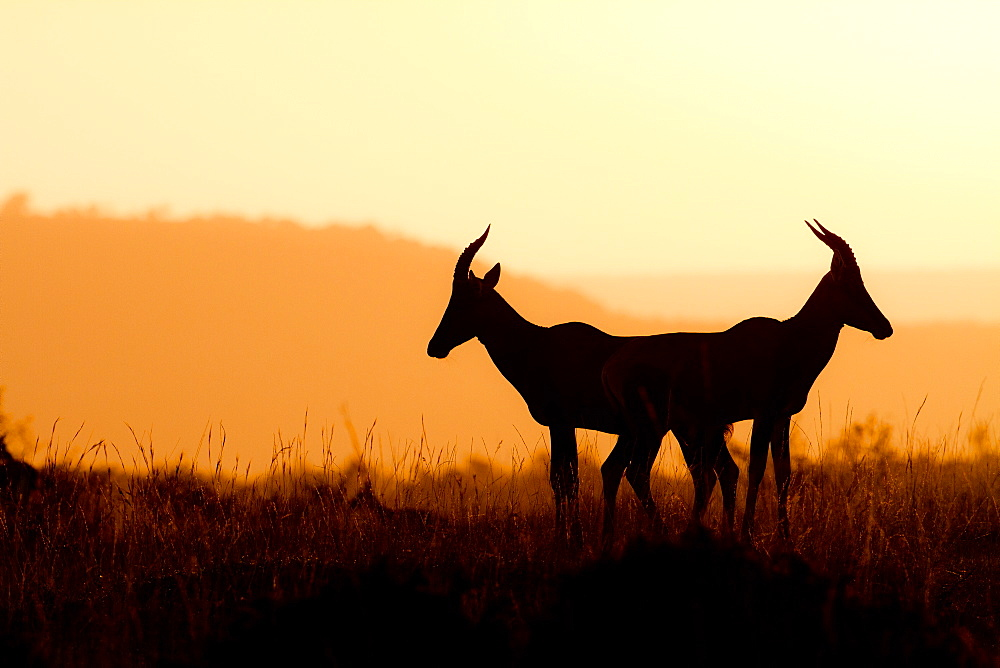 Topi antelopes (Damaliscus lunatus) against the light at sunrise, Kenya