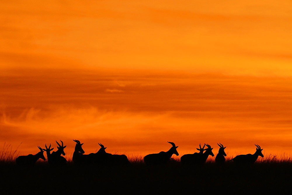 Silhouettes of Antelopes at sunrise, Kenya