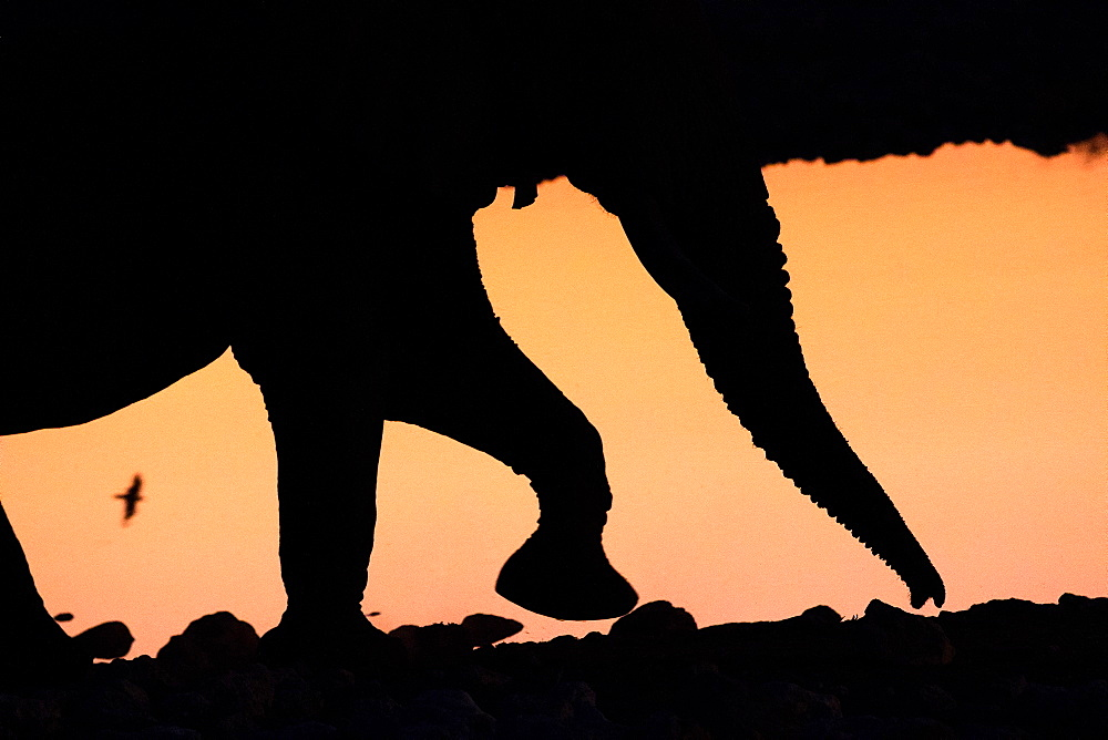 African Elephant (Loxodonta africana) walking in front of iridescent water by sunset, a Namaqua Sandgrouse (Pterocles Namaqua) runs in the background between his legs, Namibia - 860-286796