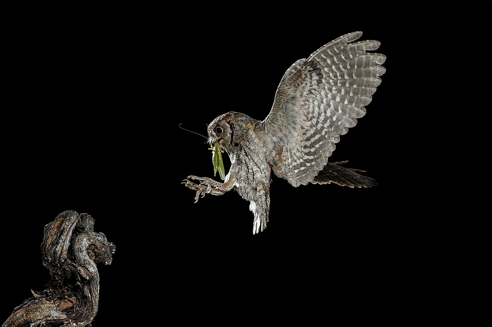Eurasian Scops Owl (Otus scops) landing with prey at night, Spain