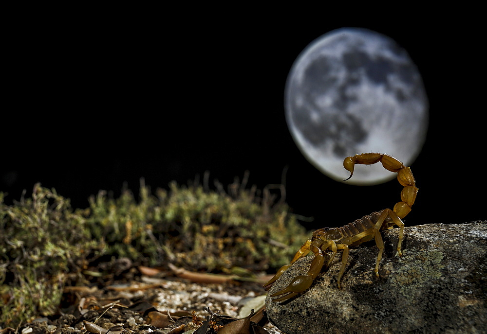 Common Yellow Scorpion (Buthus occitanus) in front of moon, Spain