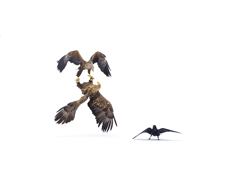 White-tailed Eagle (Haliaeetus albicilla) courtship behavior and Raven (Corvus corax) in the snow, Lokka reservoir, Lapland, Finland