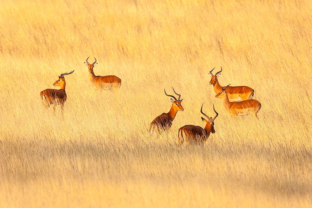 Impala (Aepyceros melampus) bucks in the savannah, Kenya