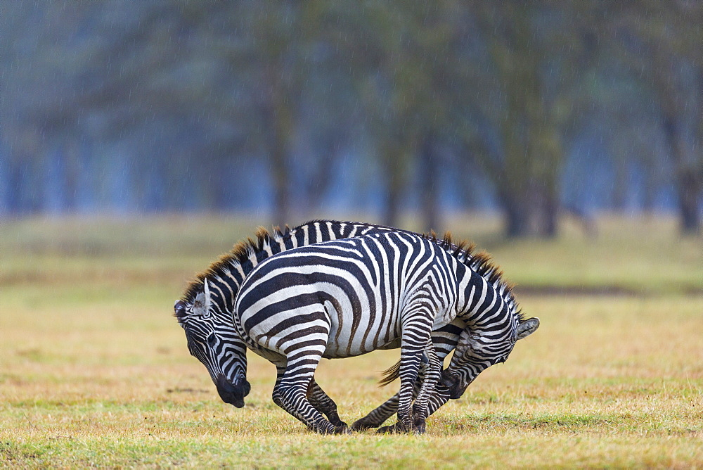 Plains zebra (Equus burchelli) fighting, Nakuru lake National Park, Kenya