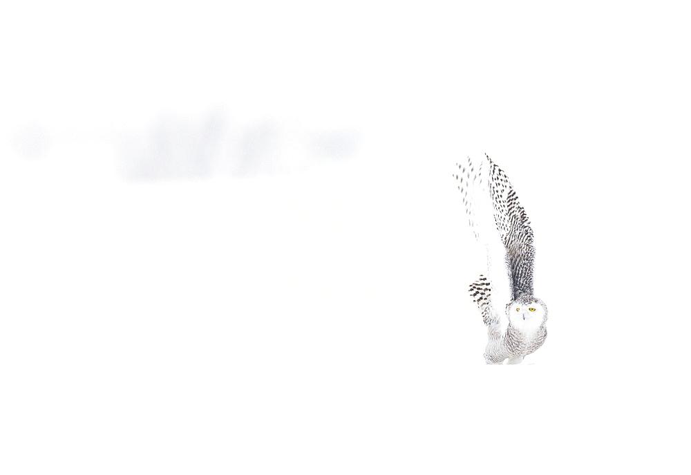 Snowy Owl (Nyctea scandiaca) in the snow, Scandinavia - 860-286820