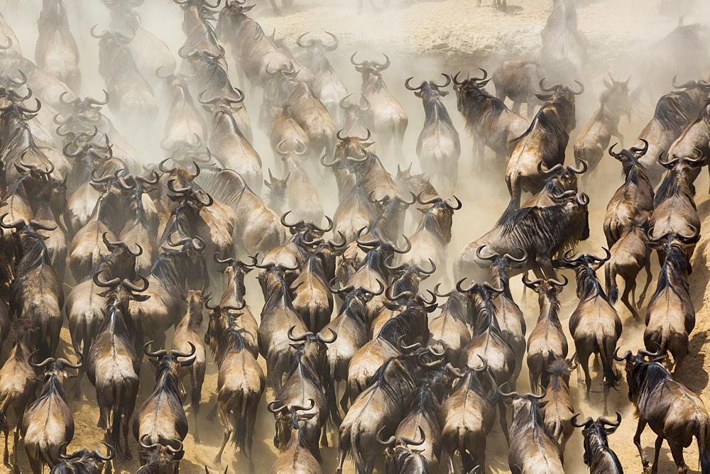 Blue Wildebeests (Connochaetes taurinus) migration, Masai Mara, Kenya