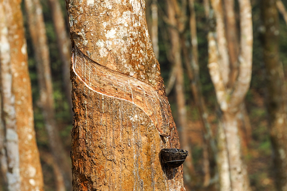 Harvesting latex from rubber trees, Tripura state, India - 860-286833