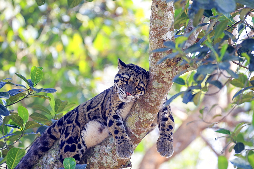 Clouded leopard (Neofelis nebulosa) at rest in a tree, Trishna wildlife sanctuary, Tripura state, India