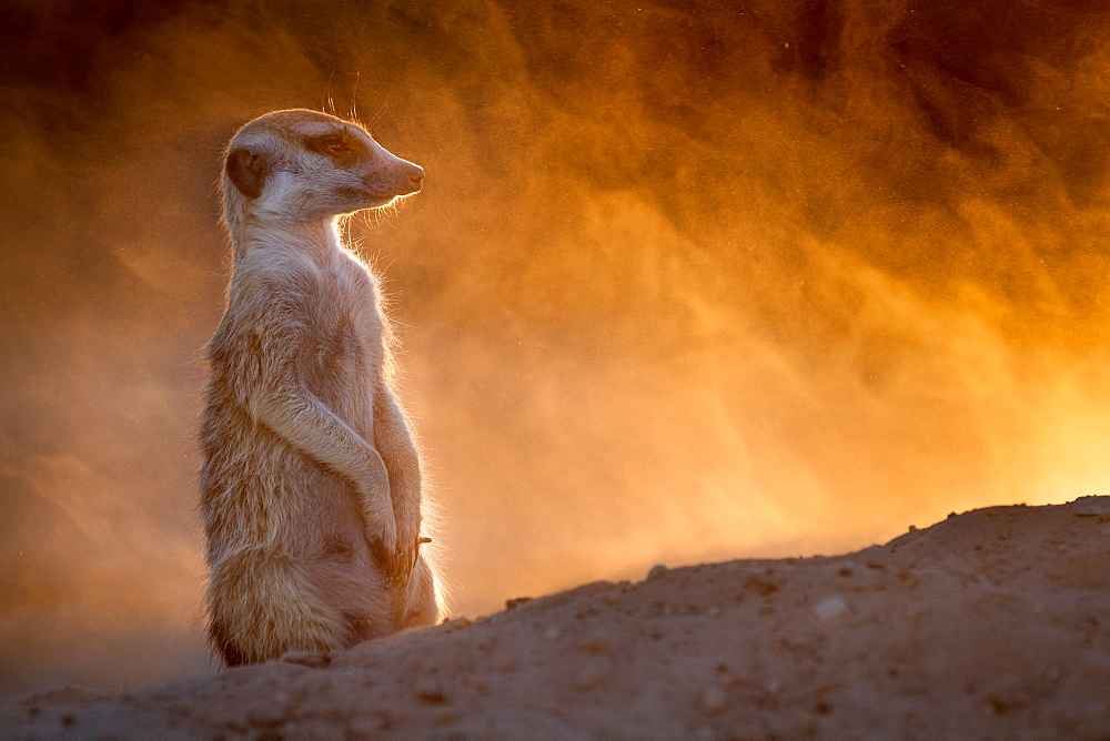The setting sun makes the dust kicked up by a digging Meerkat glow gold.