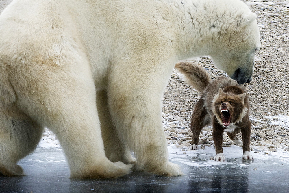 A polar bear is approaching a sled dog