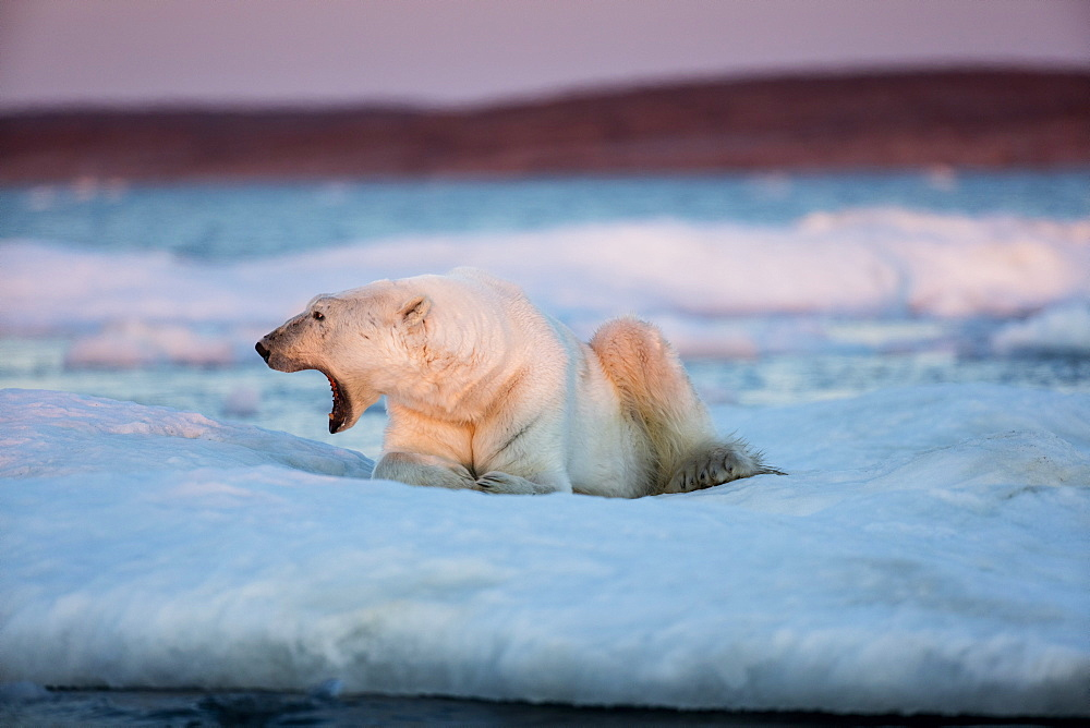 Adult male Polar Bear (Ursus maritimus) yawns while resting on drifting pack ice near mouth of Wager Bay and Ukkusiksalik National Park, Nunavut Territory, Canada