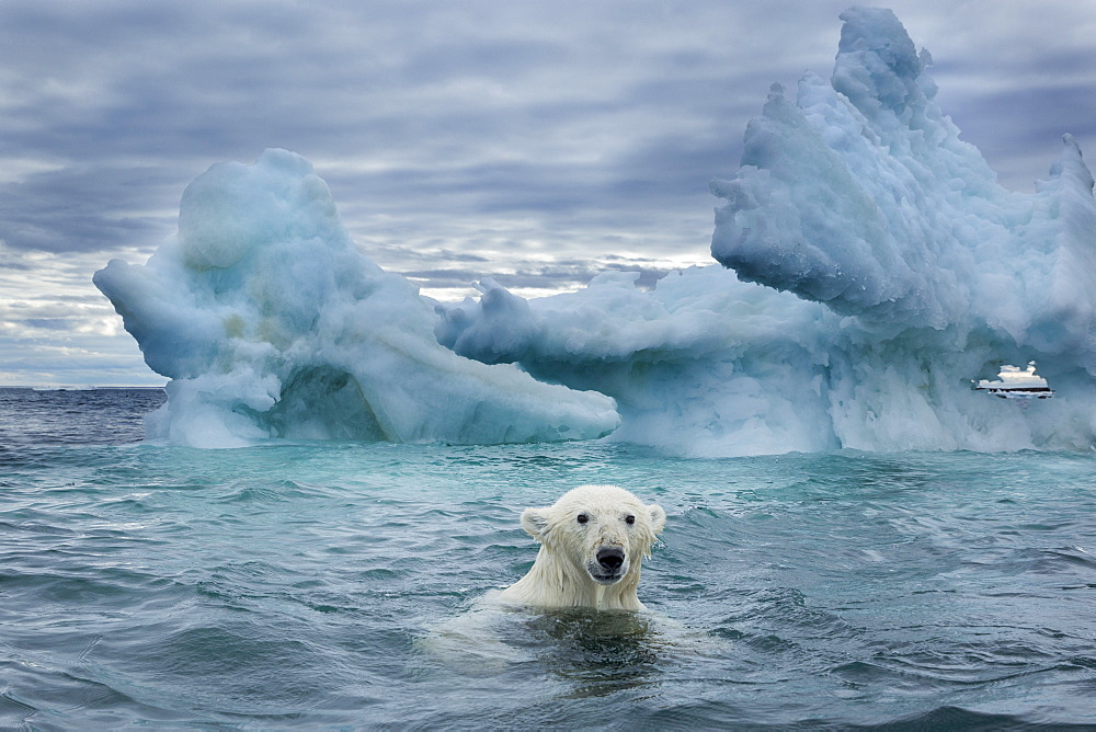 Polar Bear (Ursus maritimus) swimming near melting iceberg near Harbour Islands, Repulse Bay, Nunavut Territory, Canada - 860-286922