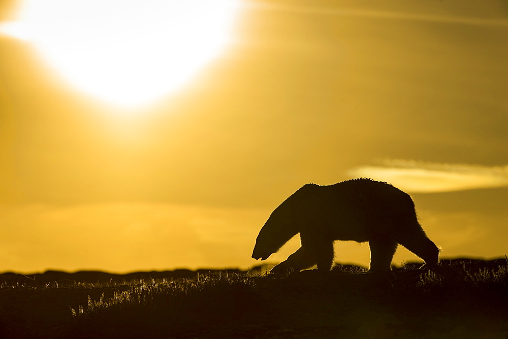 Polar Bear (Ursus maritimus) walking at sunset in hills along rocky coastline of Hudson Bay near Arctic Circle, Repulse Bay, Nunavut Territory, Canada