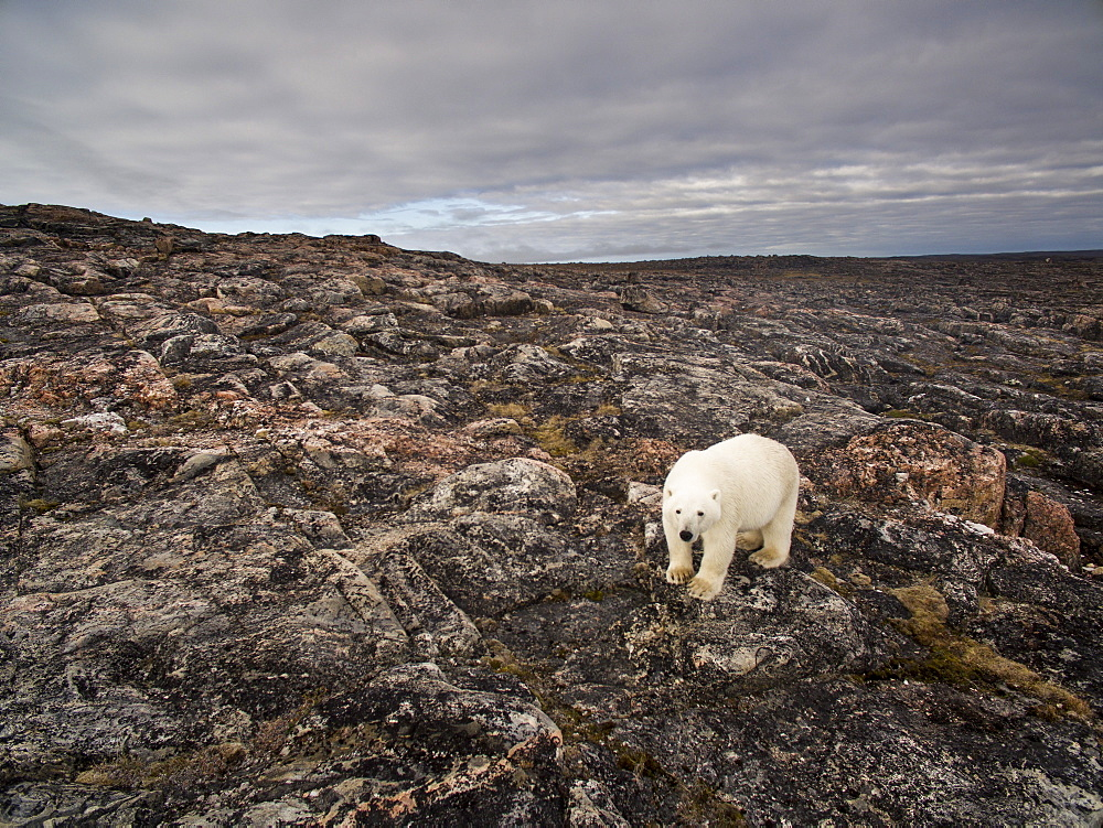 Aerial view of Polar Bear (Ursus maritimus) walking through rocky hills along Hudson Bay near Arctic Circle, Repulse Bay, Nunavut Territory, Canada