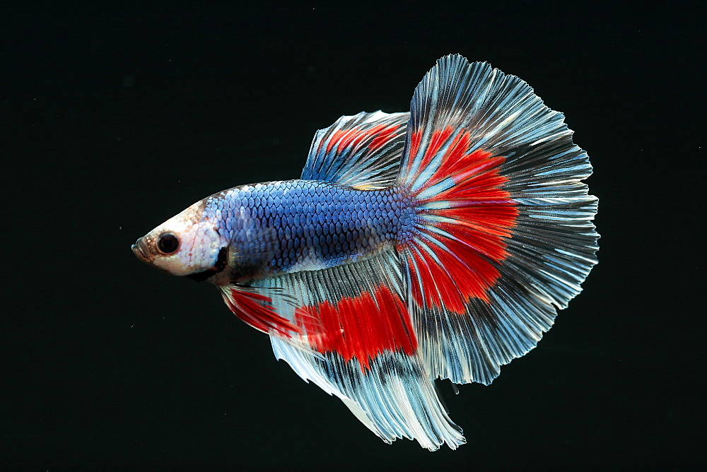 (Betta splendens), male on black background. half moon butterfly variety