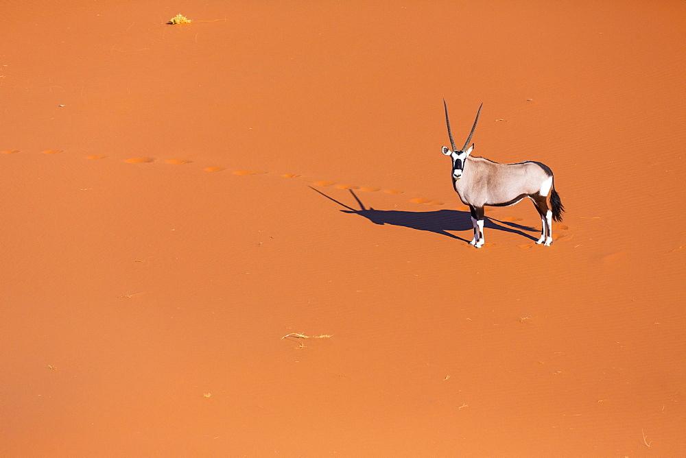 Gemsbok or gemsbuck (Oryx gazella), Namib Desert, Namibia, Africa - 860-286946