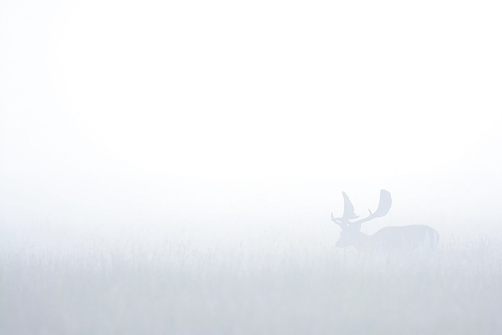 Fallow Deer (Cervus dama) on misty morning, Hesse, Germany, Europe