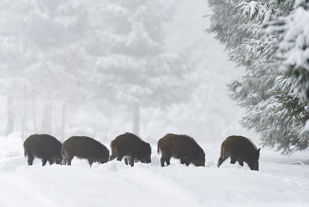 Wild boars (Sus scrofa), Spessart, Bavaria, Germany, Europe