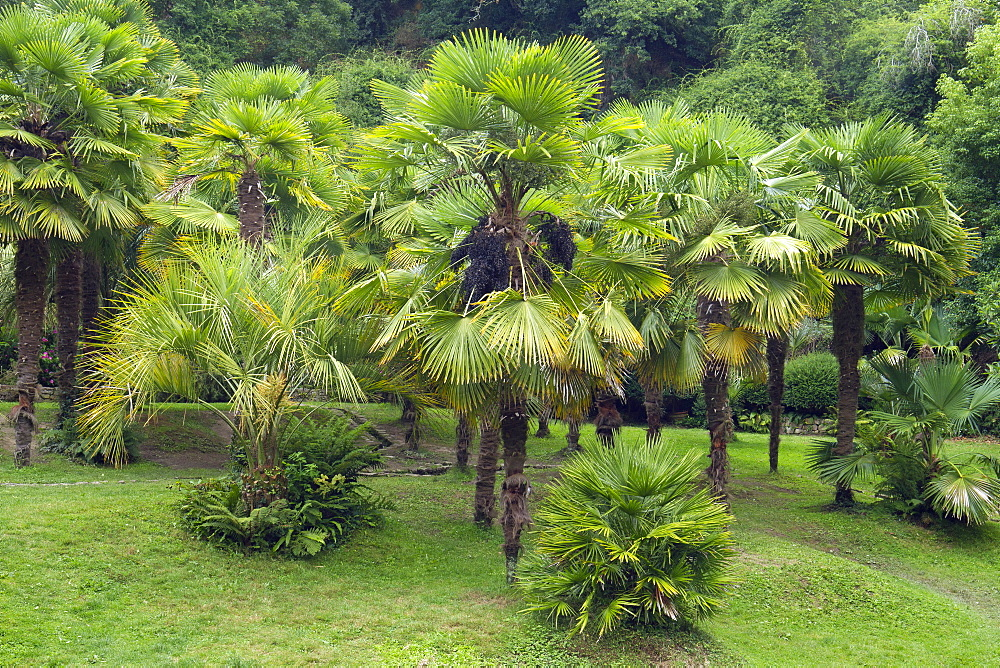 Chinese windmill palm (Trachycarpus fortunei)