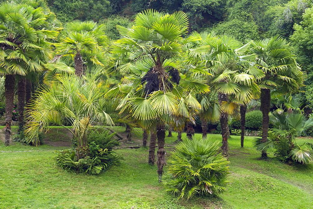Chinese windmill palm (Trachycarpus fortunei) - 860-286978