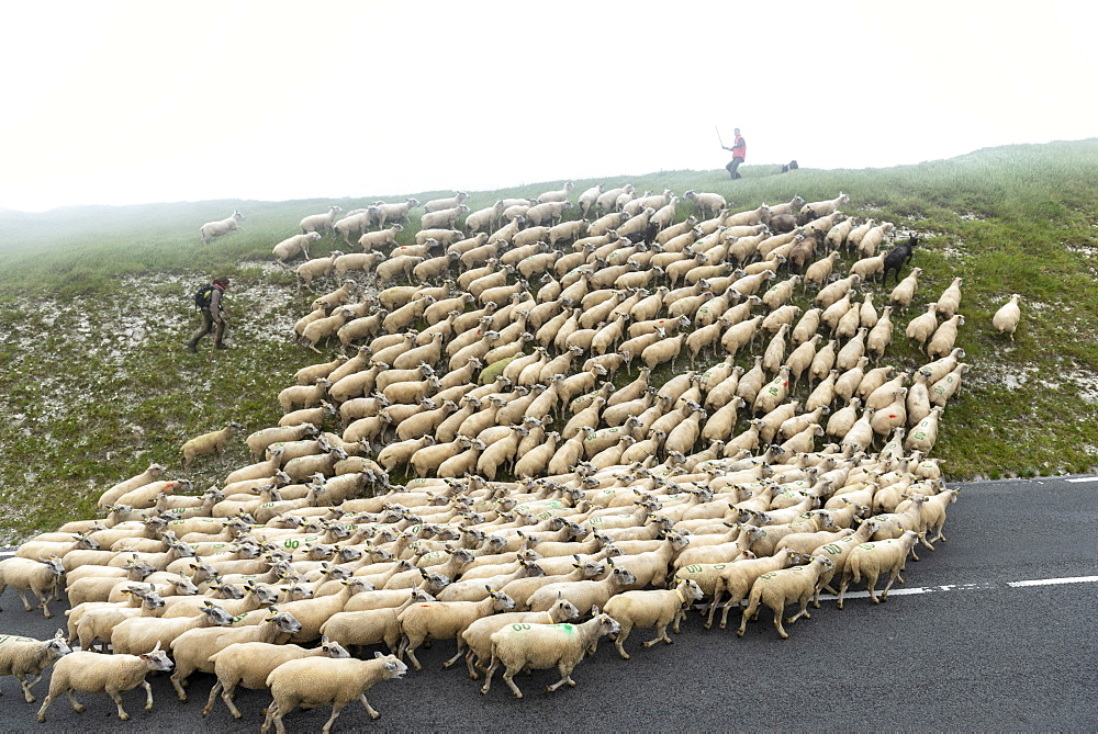 Transhumance of Boulonnais sheep on Cap Blanc-Nez, Pas de Calais, France