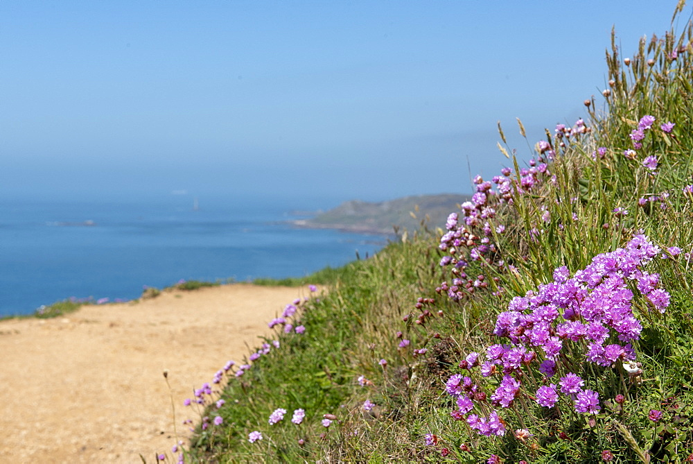 Thrift seapink (Armeria maritima) on the edge of a cliff, Printemps, Manche, Normandy, France.