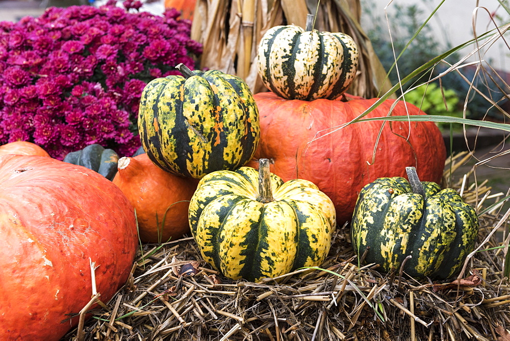 Pumpkin and pumpkin 'Patidou Sweet Dumpling' laid on straw for Halloween, Germany - 860-287021