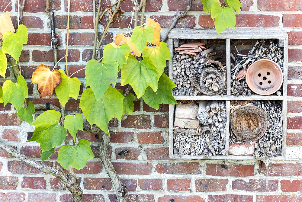 Virginia creeper (Parthenocissus sp) and Insect hotel on a brick wall, autumn, Somme, France - 860-287024