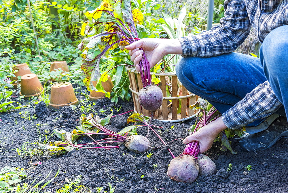 Harvest of red beets in a kitchen garden, Autumn, Pas-de-Calais, France - 860-287025