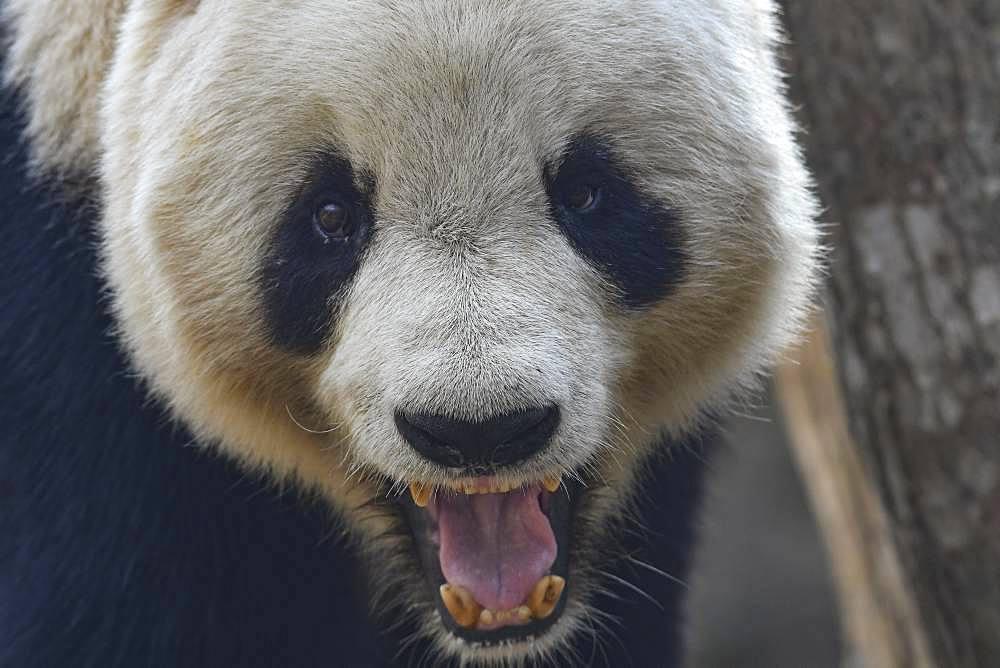Giant Panda (Ailuropoda melanoleuca) yawning, Foping, Shanxii, China