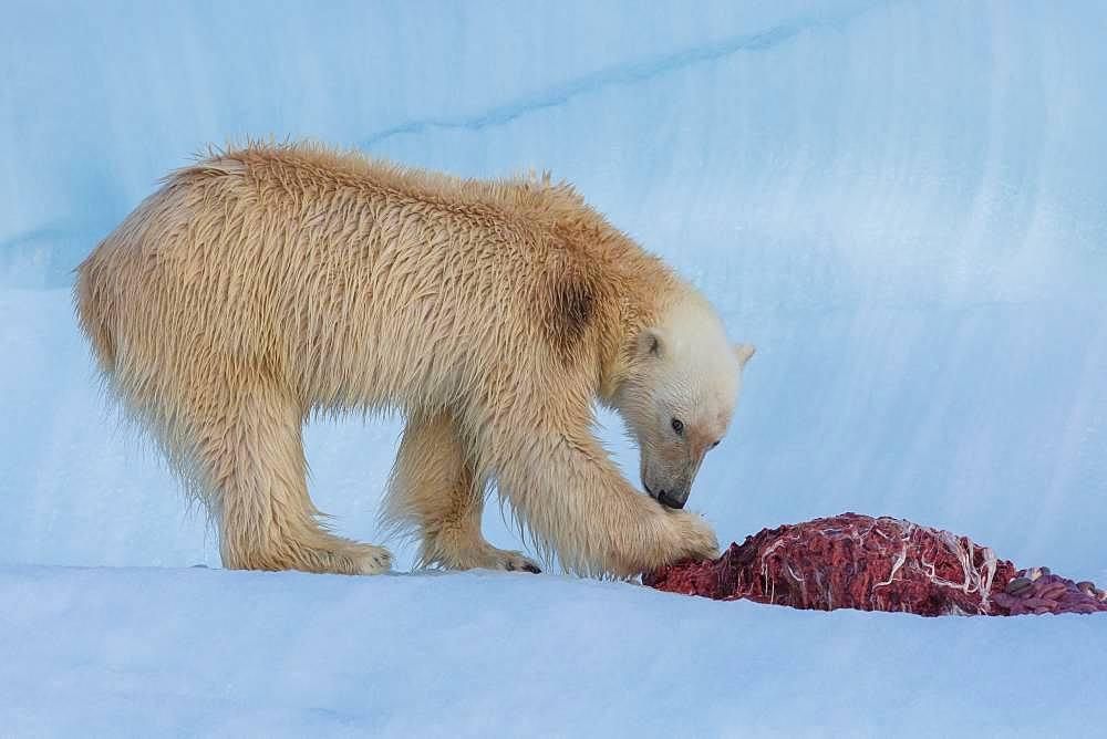 Polar bear (Ursus maritimus) eating a seal on an iceberg, Wahlenbergfjord, Nordaustlandet, Spitzberg, Svalbard.