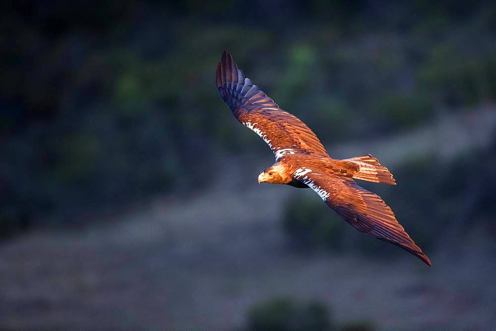 Spanish imperial eagle (Aquila adalberti) in flight, Cordoba, Spain