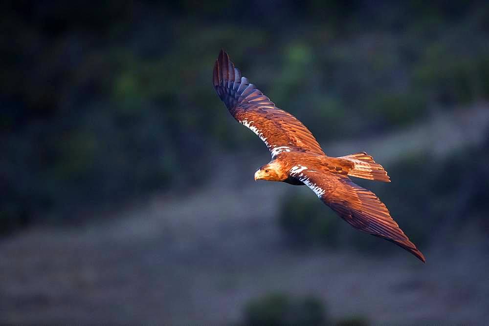 Spanish imperial eagle (Aquila adalberti) in flight, Cordoba, Spain