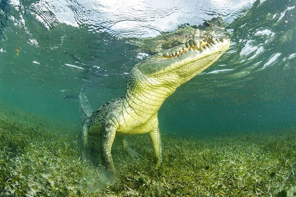 American crocodile (Crocodylus acutus), Chinchorro Banks (Biosphere Reserve), Quintana Roo, Mexico