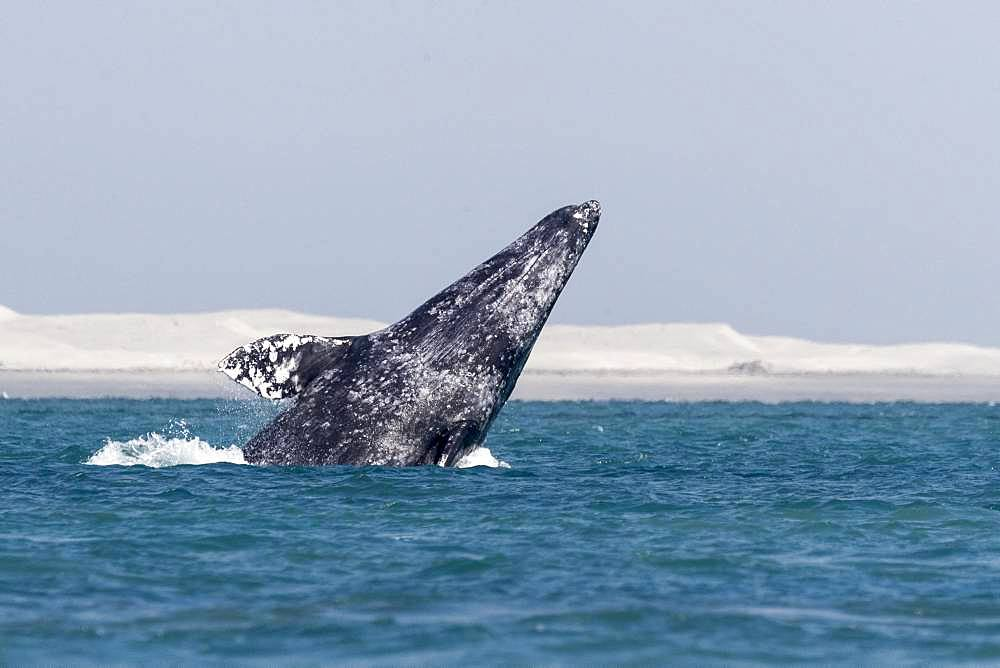 Gray Whale (Eschrichtius robustus), adult, breaching, Ojo de Liebre Lagoon (formerly known as Scammon's Lagoon), Guerrero Negro, Baja California Sur, Mexico
