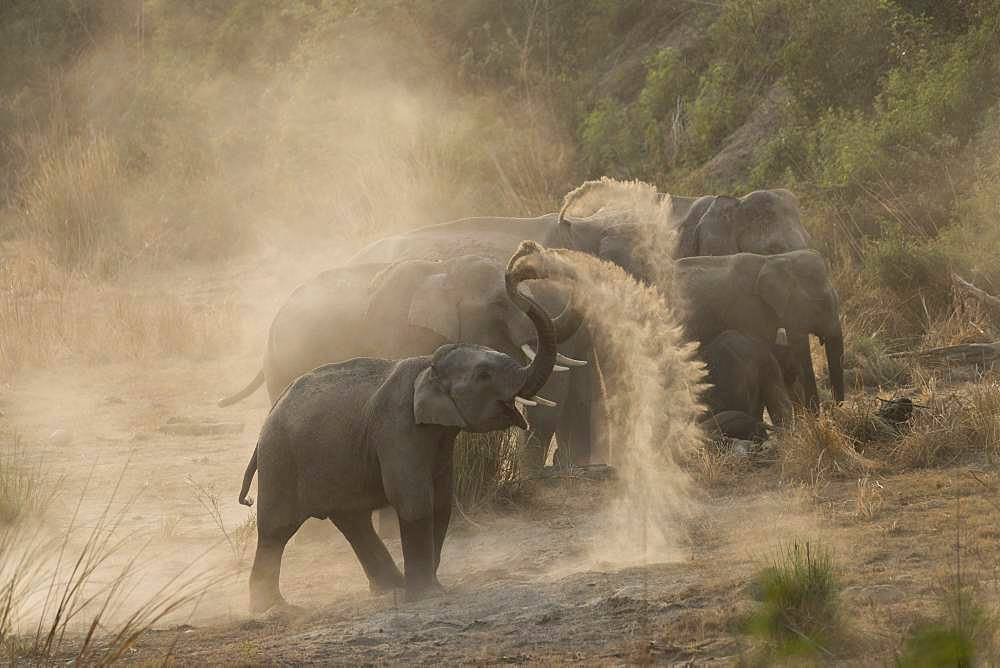 Asian or Asiatic elephant (Elephas maximus), dust bath, Jim Corbett National Park, Uttarakhand, India