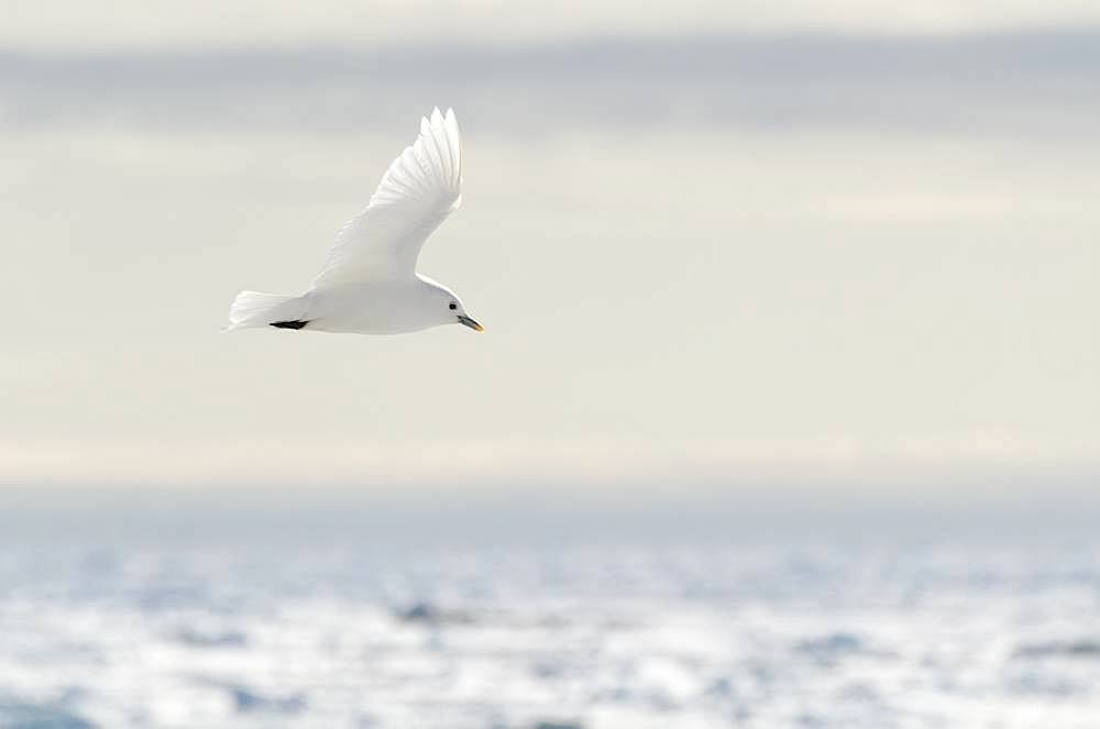 Ivory Gull (Pagophila eburnea) on an icebergin flight above ice, Svalbard