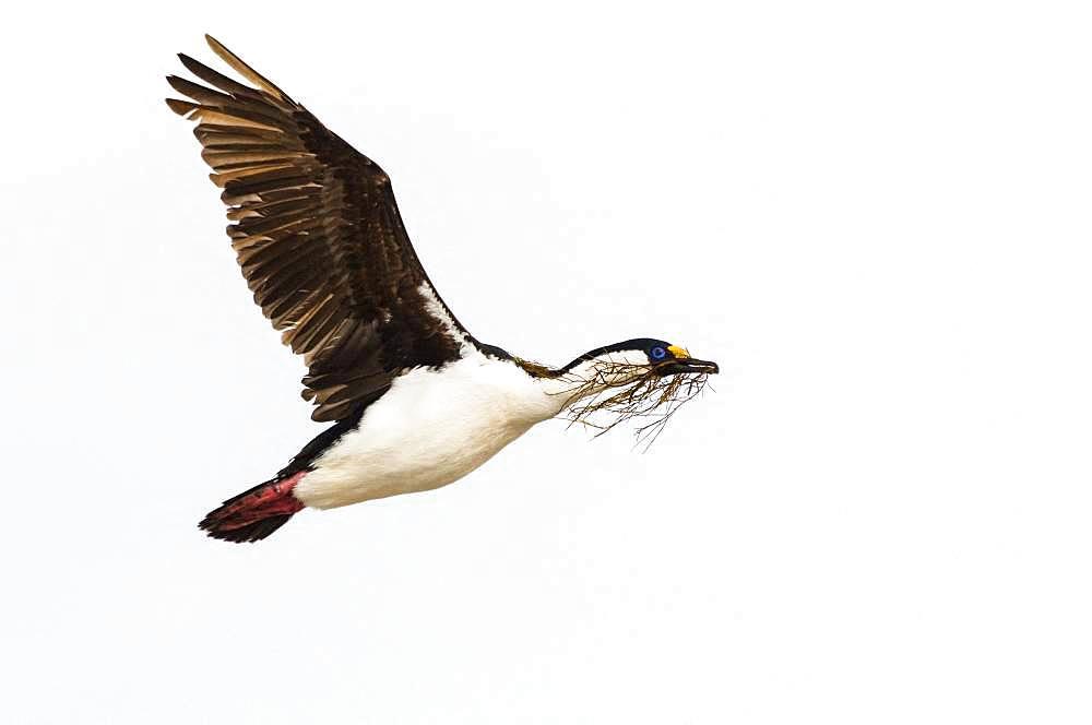 Imperial cormorant (Leucocarbo atriceps) carrying algae to its nest in flight, Antarctica