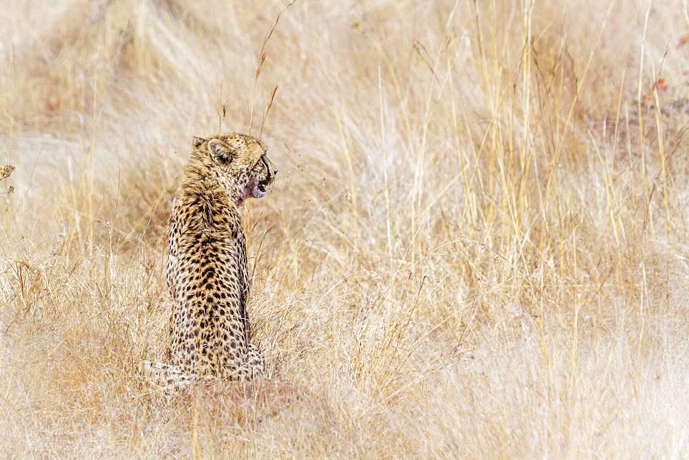 Cheetah (Acinonyx jubatus), Kruger National park, South Africa