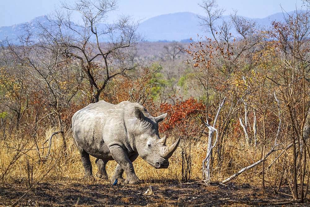 Southern white rhinoceros (Ceratotherium simum simum), Kruger National park, South Africa