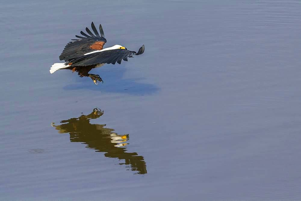 African fish eagle (Haliaeetus vocifer) fishing, Kruger National park, South Africa